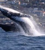 Amazing-Whale-Breach-Shocks-Tourists-At-Bondi-Beach
