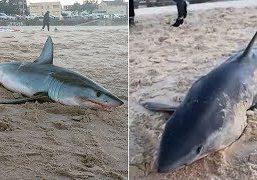 Mako-shark-washes-up-on-Bondi-Beach