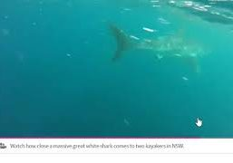Sharks-fight-over-dolphin-in-Australia